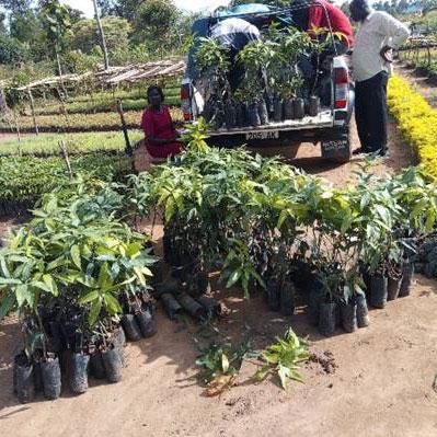 mango-seedlings-from-an-Arua-based-nursery
