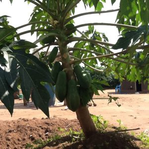 Papaya in Matu