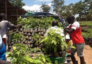 Loading Jackfruit seedlings